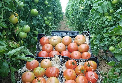 Comprar tomates ecológicos en Madrid